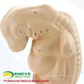 VENDRE 12476 Médical en sciences humaines en plastique Anatomique de quatre semaines grand modèle