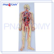 PNT-0438 modelo de anatomía humana avanzada, sistema circulatorio humano