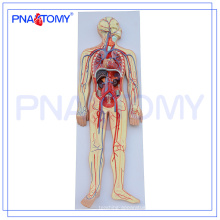 PNT-0438 Advanced human anatomy model,human circulatory system