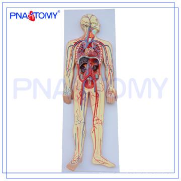 PNT-0438 Advanced human anatomy model,human circulatory system