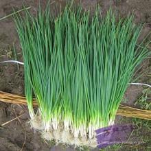 Suntoday quatre saisons resisant à la chaleur et au froid épicé échalote chaude ciboulette vert oignon graines de poireau