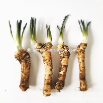Rare japanese horseradish with Tianpeng
