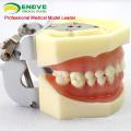 VERKAUFEN Sie 12563 Anatomische Modell-Art Zahnstudie mit weichem Gummi