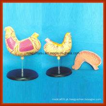 Anatomia Médica Modelo de Estômago em Saúde Humana