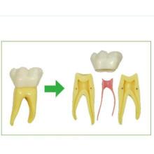 Six Times Anatomy Teeth Model