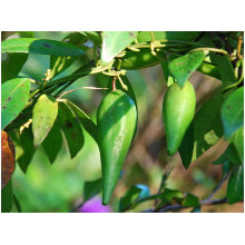 Factory wholesale Chinese Gymnemic extract /Gymnema sylvestre extract