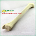 TF08 (12319) Synthetic Bones - Tibia (Right or Left),SWABone Models / Skeleton of Lower Limb / Tibia