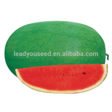 W04 Xinhongbao mid maturity chinese f1 watermelon seeds