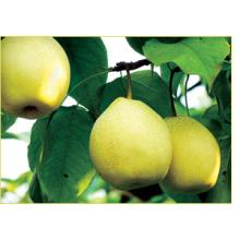 Proveedor fresco de la pera fresca del nuevo cultivo 2016 con la propia fábrica.