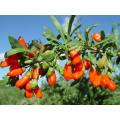180grains / 50g Goji Berry Orgânica, USDA Certificated Orgânica Goji Berry