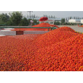 (36-38% CB) Pasta de tomate em tambor