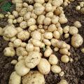 Bangladesh Pomme de terre fraîche
