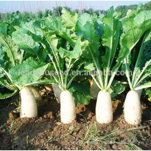R02 Maer mid-early maturity white radish seeds, vegetable seeds