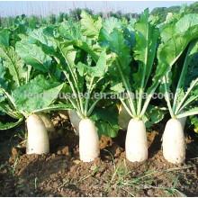 R02 Maer meados da maturidade sementes de rabanete branco, sementes de hortaliças