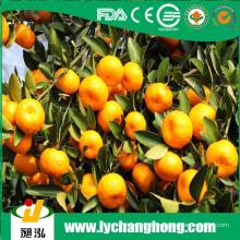 Frische chinesische Nanfeng Honig Baby Mandarin Orange aus China Obst Exporteur