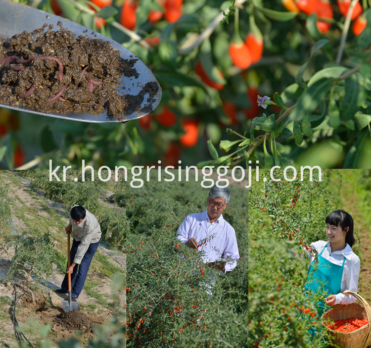goji berry cultivate