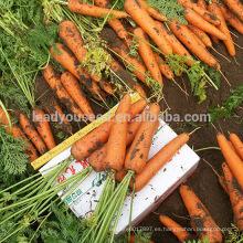 CA08 Orande 8 pulgadas de alta calidad semillas de zanahoria china roja