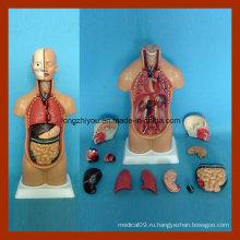 45см Unisex Human Анатомия Торс Модель для продажи (12 шт)