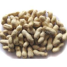 Nova colheita de amendoins em Shell