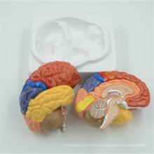 Los modelos cerebrales plásticos humanos baratos de la fuente de la fábrica