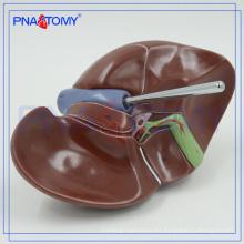 Modelo de hígado médico realista PNT-0469 para estudio