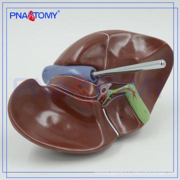 ПНТ-0469 медицинское модель печени для исследования