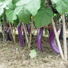 HE17 Xiao longues graines d'aubergines hybrides rouges pourpres
