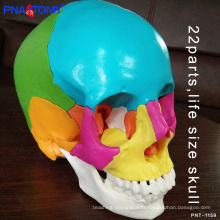 PNT-1159 taille naturelle PVC anatomique 22 pièces modèle de crâne coloré