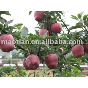 Huaniu Apples
