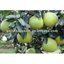 high quality pomelo best price