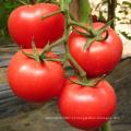 Sementes de tomate híbrido HT23 Souji f1 com alto rendimento, adequado para efeito estufa
