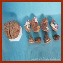 Modelos de ensino de enfermagem educacional do cérebro humano (8 partes)