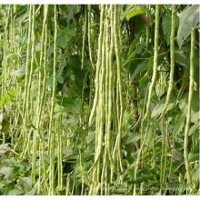 HBE09 Shedin vert pâle OP graines de haricots à haut rendement