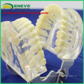 DENTAL12 (12572) Modèle à mâchoires transparentes avec dents pour auto-brossage Educaion