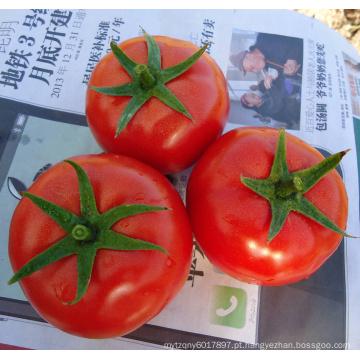 HT25 Bagai grande crescimento determinado f1 sementes de tomate vegetal híbrido chinês