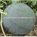 MW25 Shense deep green hybrid seedless watermelon seeds for planting