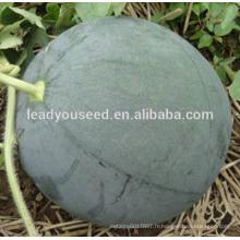Graines de melon d'eau sans pépins hybrides vert foncé MW25 Shense pour la plantation