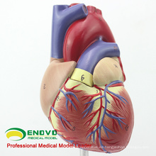 HEART03 (12479) Modelo de anatomía del corazón humano adulto de tamaño natural completo, 2 partes, modelos de anatomía> Modelos de corazón