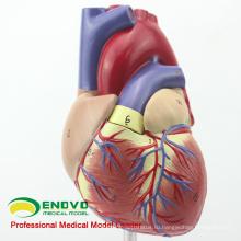 HEART03(12479) вся жизнь-Размер модель взрослого человека анатомии сердца, 2 части, Анатомия модели > модели сердца
