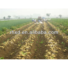 2013 Crop Fresh Potato Import and Export ( Organic , Gap ,SGS)