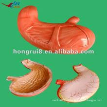 Modelo de Anatomía del Estómago Humano ISO HR-306