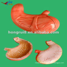 ISO Human Stomach Anatomy Model HR-306