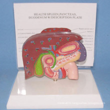 Human Liver and Gallbladder Medical Anatomy Model with Base (R100107)