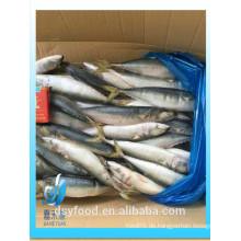 Hochwertiges Pferd / Indian / Pacific Makrele zum Verkauf
