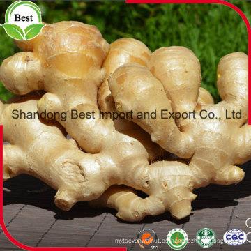 Venta de fábrica china Crecimiento natural de jengibre fresco