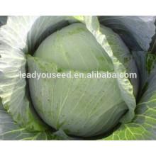 Preço de sementes de repolho chinês híbrido de maturidade precoce de MC051 Minxia