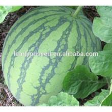 MW011 Yuhong global forme haute sucre graines de pastèque sans pépins