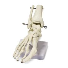 Modelo de articulación de codo, modelo de disección de estómago