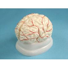 Human Brain Model with Arteries