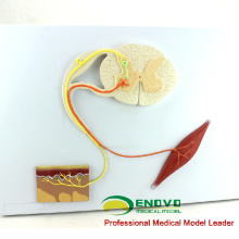 NERVE01 (12420) Medizinisches Bildungsmodell Menschliches Zentralnervensystem Anatomiemodell Reflexbogen